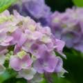 写真: 夢見る紫陽花