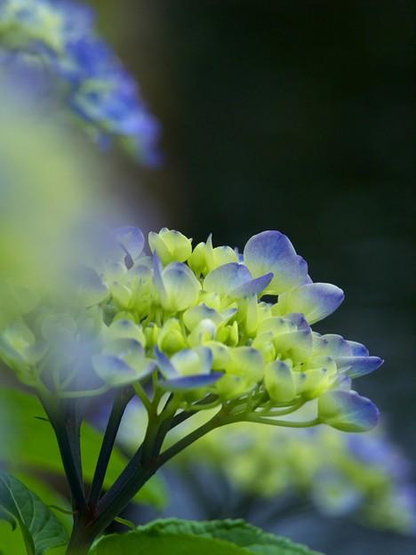 写真: 紫陽花の夢