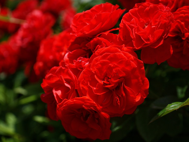 広見公園の紅い薔薇