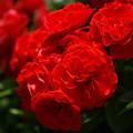 写真: 広見公園の紅い薔薇