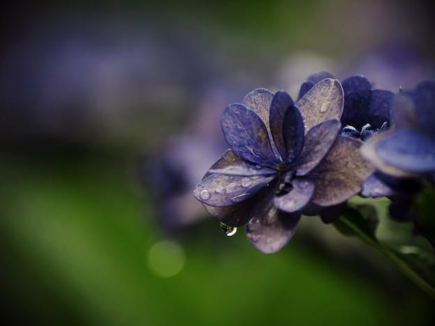 せせらぎに咲く紫陽花 -a