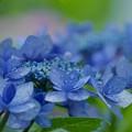 写真: せせらぎに咲く紫陽花 -b