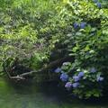 写真: せせらぎに咲く紫陽花