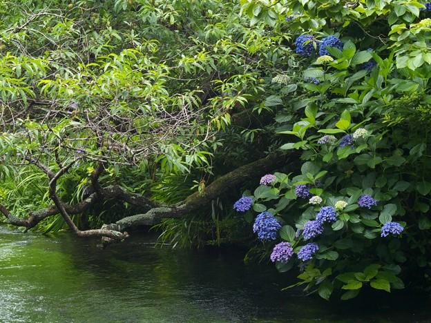 梅の実と紫陽花と