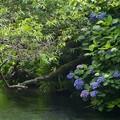 写真: 梅の実と紫陽花と