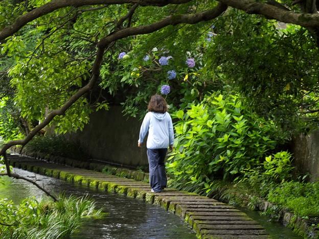 アジサイ咲く水辺の小径