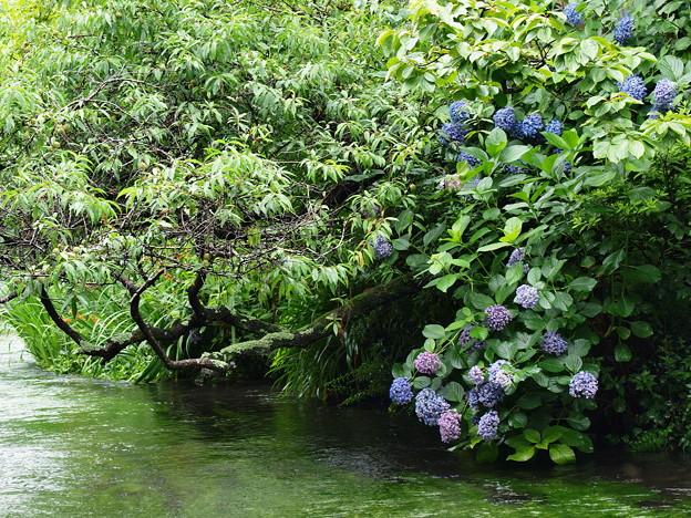 梅の実&紫陽花、せせらぎに