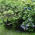 写真: 梅の実&紫陽花、せせらぎに