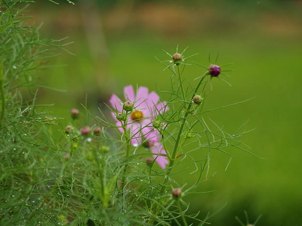 雨滴を纏って、これから咲きます…