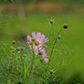 写真: 雨滴を纏って、これから咲きます…