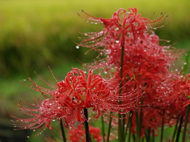 雨滴を纏った曼珠沙華