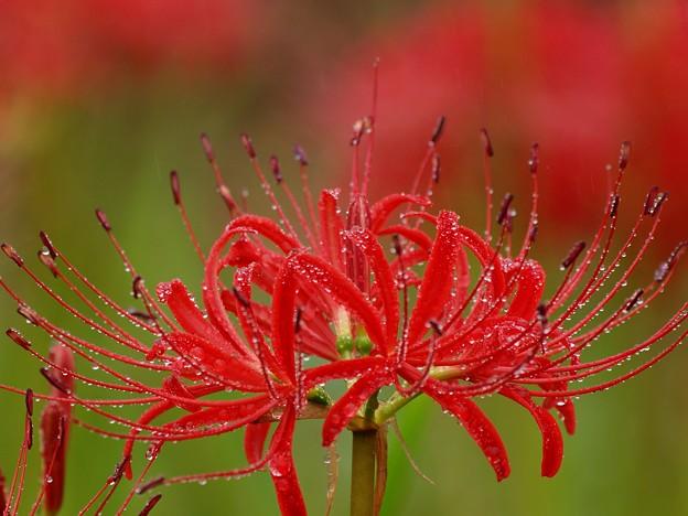 雨滴を纏った曼珠沙華~赤く開く