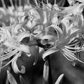 写真: 陽光を纏う彼岸花