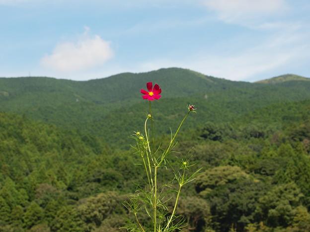 箱根山麓を背に秋桜は咲く