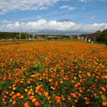 写真: コスモス畑と富士のお山