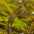 写真: 秋の穀物、収穫間際(^^)
