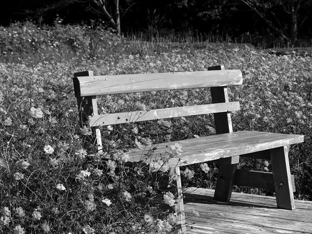 秋桜に囲まれた憩いのベンチ