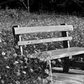 写真: 秋桜に囲まれた憩いのベンチ