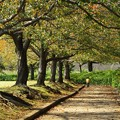 Photos: 落ち葉散る桜並木を走る抜ける