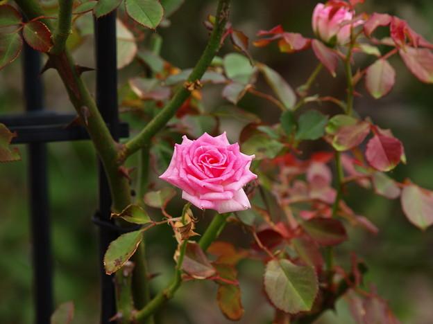 秋薔薇の香り