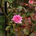 写真: 秋薔薇の香り