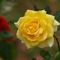 雨上がりの秋薔薇 -b