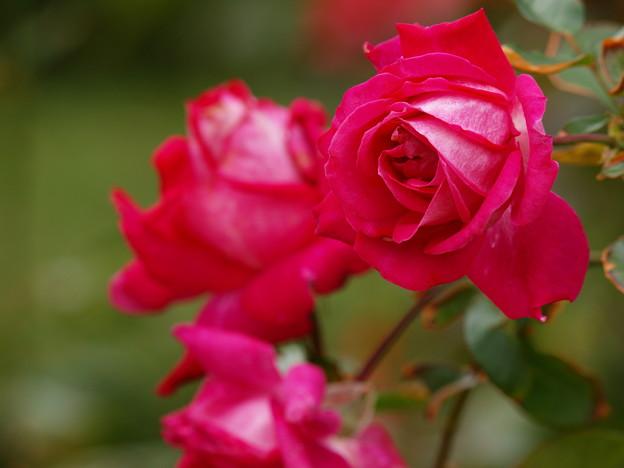 紅色な秋薔薇