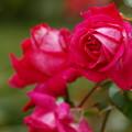 写真: 紅色な秋薔薇