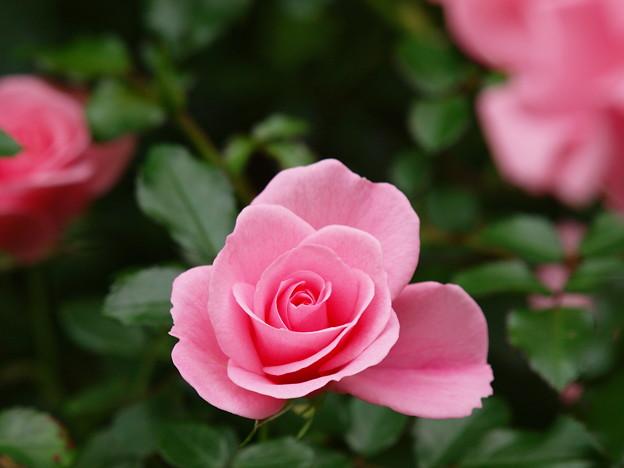 キュートな秋薔薇