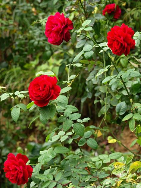 秋香る薔薇の花