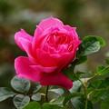 香り放つ秋薔薇