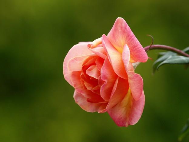 香る秋薔薇