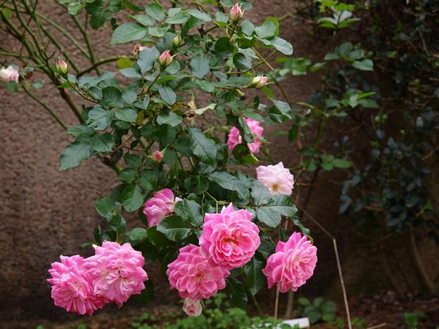秋薔薇咲くガーデン