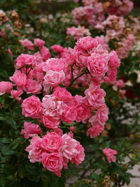 腕にいっぱいの秋薔薇