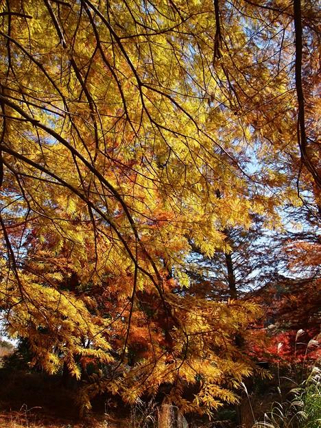 晩秋のメタセコイア