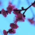 Photos: せせらぎを彩る梅花 -c