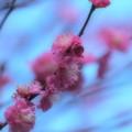Photos: せせらぎを彩る梅花 -d