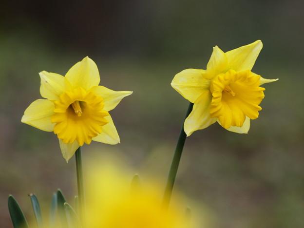 ハルイロ黄色