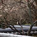 Photos: 早春の瓦塀
