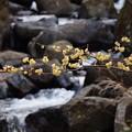 Photos: 水辺の蝋梅