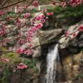 Photos: 紅梅と小さな小さな滝