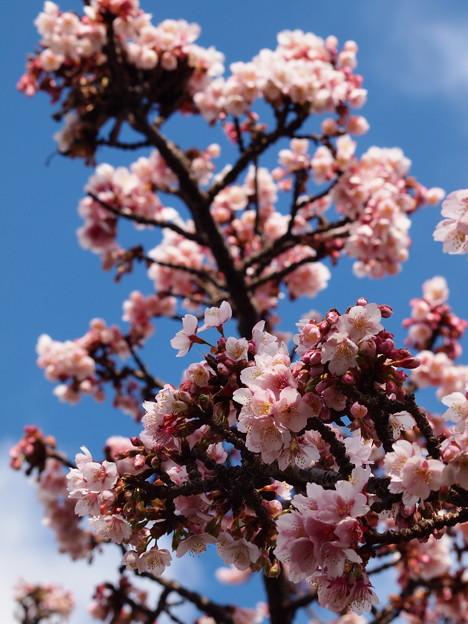 早春の青空と熱海桜