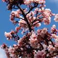 Photos: 早春の青空と熱海桜