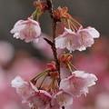 ほっこり熱海桜