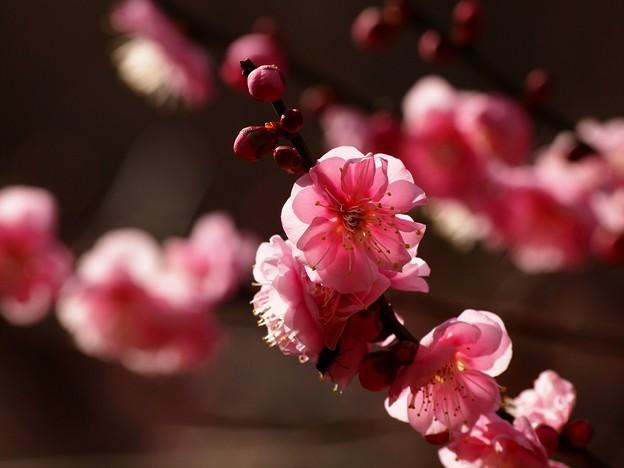 早春の陽光に透ける梅の花びら