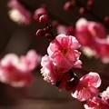 Photos: 早春の陽光に透ける梅の花びら