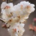 ふんわり春の香り