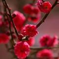 写真: 紅衣を羽織った春の使者