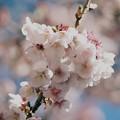 写真: 熱海桜は旬を迎え…