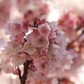 写真: 桜ブーケ